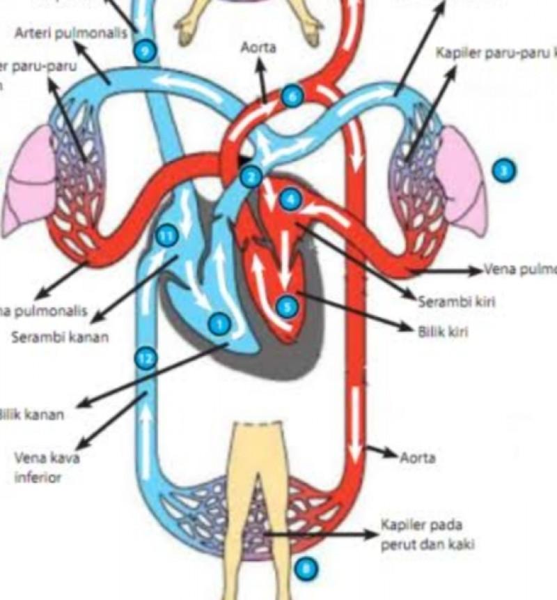 25+ Organ peredaran darah manusia terdiri atas ideas in 2021
